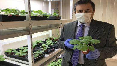 "Photo of باحثون أتراك يطمحون لعلاج كورونا بـ""نيكوتيانا بينثاميانا"""