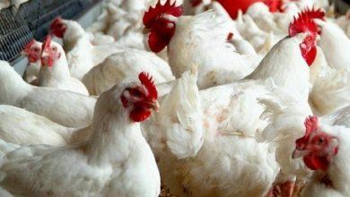 Photo of سعر الدجاج اليوم الأربعاء 15/04/2020 في أسواق قطاع غزة