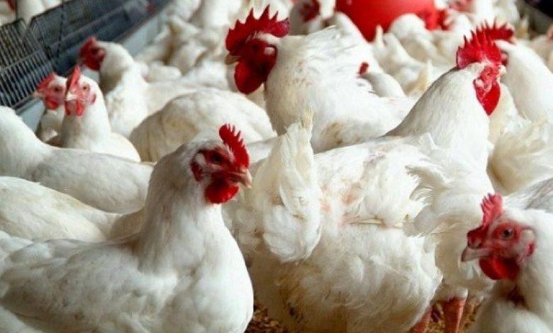سعر الدجاج اليوم الخميس